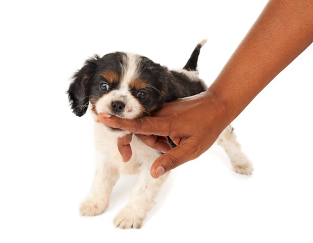7 weeks old King Charles spaniel puppy biting a woman in her hand