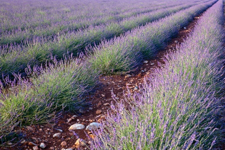 lavendin: Red earth and rows of scented flowers in the lavender fields of the French Provence near Valensole