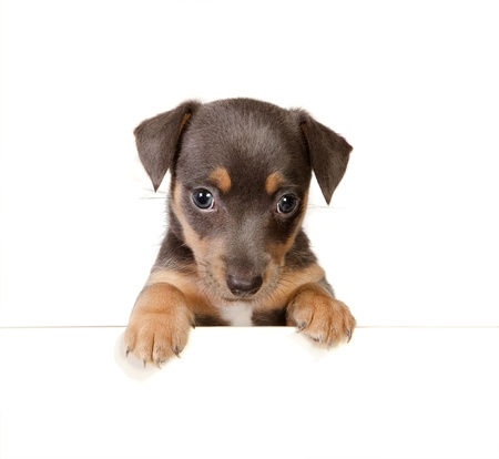 Isolated 6 weeks old jack russel puppy dog photo