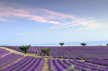 lavande: Trees in the rows of scented flowers in the lavender fields of the French Provence near Valensole Stock Photo