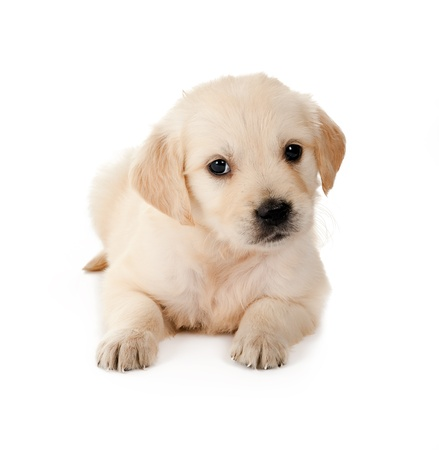 brown labrador: Golden retriever puppy of 6 weeks old on a white background Stock Photo