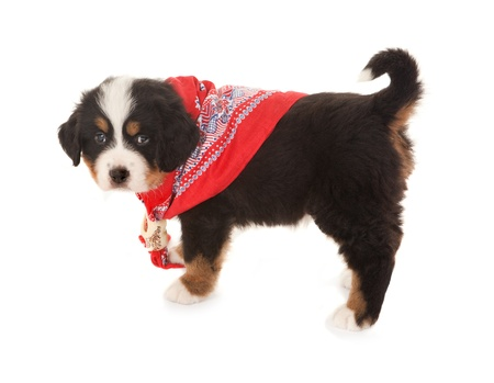 Six weeks old Bernese mountain dog wearing a red peasant scarf