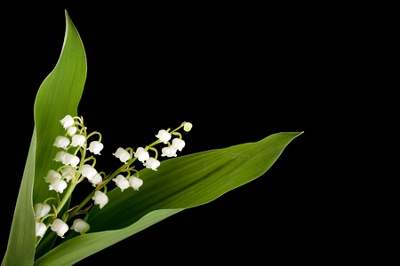 muguet: Twig of muguet or lilly of the valley Stock Photo