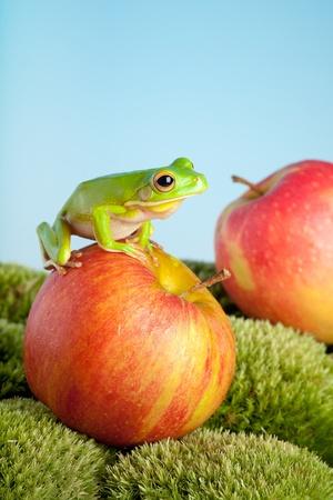 White-lipped tree frog or Litoria Infrafrenata  Stock Photo - 8374343