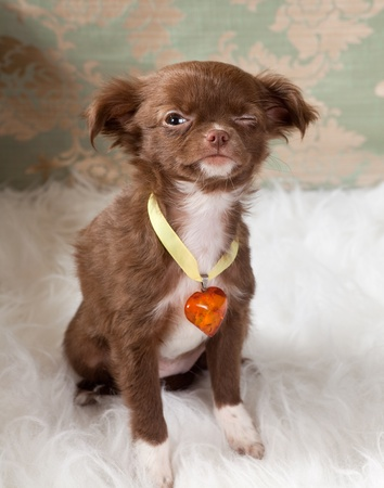 minuscule: Valentine picture of a chihuahua puppy dog with an amber heart collar and winking with his eyes