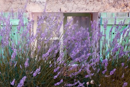 Lavender growing in front of a typical French pastel colored village window in Provence photo