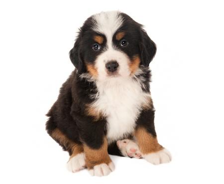 sennenhund: 6 settimane vecchio cucciolo Bovaro del Bernese isolated on white Archivio Fotografico