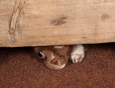 Little puppy chihuahua dog trying to make an escape Stock Photo - 8489209