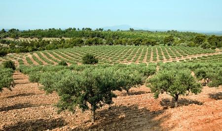 Weer geven op een grote olijf boom gaard in de Provence, Frankrijk