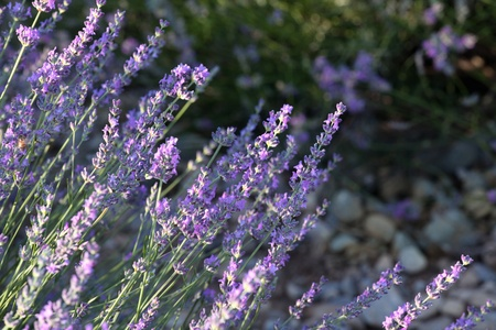 lavande: Bunch of scented flowers in the lavender fields of the French Provence near Valensole
