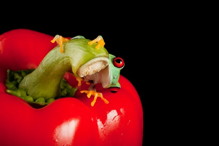 redeye: One inch red eyed tree frog on a red pepper