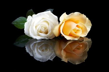 true: Two perfect roses, a yellow and a white one, on a black reflective surface Stock Photo