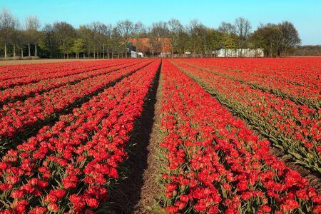 bloembollenvelden: Beroemde Nederlandse bollen velden met miljoenen tulpen in Nederland