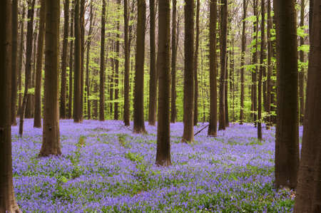 bell flower: Dark trees with their stems in a carpet of blue wild hyacinths (Belgium, Hallerbos)