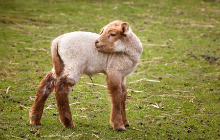 Two weeks old baby lamb in springtime photo