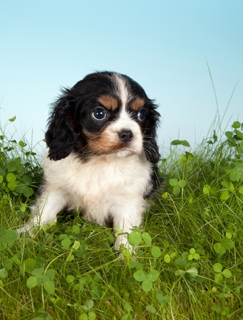 Little cavalier king charles puppy dog in grass with clover photo