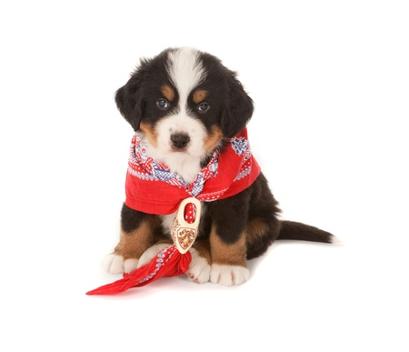 Little Bernese mountain dog wearing a red peasant scarf photo