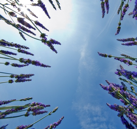 lavendin: Lavender in the French Provence shot against a blue sky