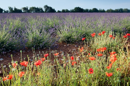 Poppies next to the lavender fields of the French Provence near Valensole photo