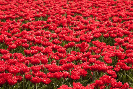 Famous Dutch bulb fields with millions of tulips in Holland photo