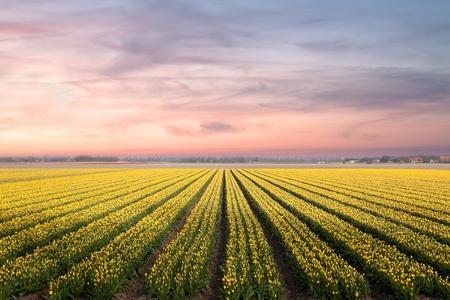 yellow  agriculture: Campos de los bulbos holand�s famoso con millones de tulipanes en Holanda