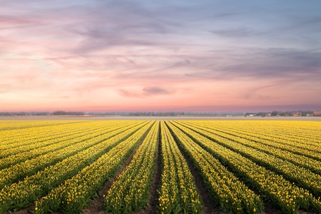 dutch: Famous Dutch bulb fields with millions of tulips in Holland