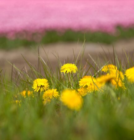 Simple dandelion flowers against a background of millions of Dutch tulips in springtime photo