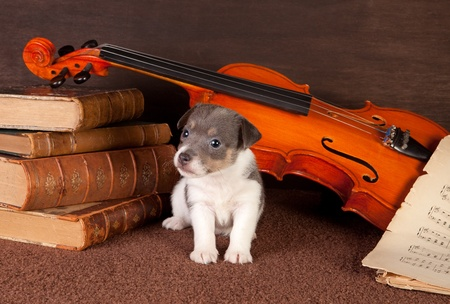 fiddles: Little jack russel puppy posing as a music lover