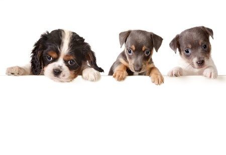 dog breeds: Isolated 6 weeks old puppy dogs with a white message