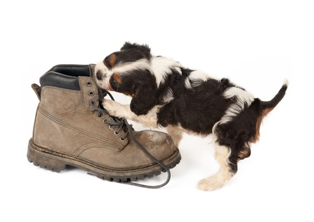 Baby king charles spaniel playing with an old boot photo