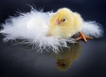 Little yellow easter chick looking at its own reflection against a black background photo