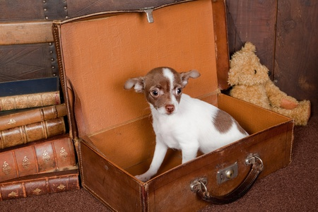 minuscule: Old vintage suitcase with a teddy bear and a puppy chihuahua dog