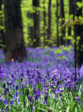 wildflower: Close up of bluebells, with spring greens in the background Stock Photo