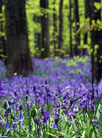 flor silvestre: Detalle de campanillas, con verdes de primavera en segundo plano