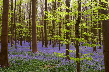 Early spring foliage in a forest covered with wild blue hyacinths photo
