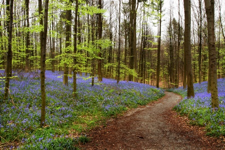 beautiful woodland: Curved path in a bluebell forest in springtime (Hallerbos woods in Belgium) Stock Photo