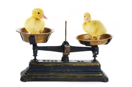 Two cute little easter ducklings on a scale Stock Photo - 8836076