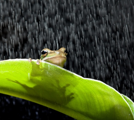 plants species: Little green tree frog seduto su una foglia di banana sotto la pioggia