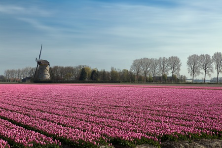 millions: Famous Dutch bulb fields with millions of tulips in Holland