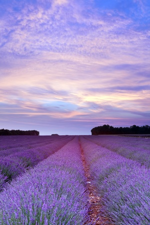 french countryside: Sunset over a summer lavender field in Provence, France