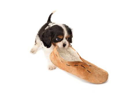 whelp: King Charles puppy dog playing with an old slipper Stock Photo