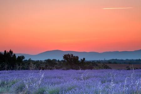 lavendin: Sunrise over a summer lavender field in Provence, France