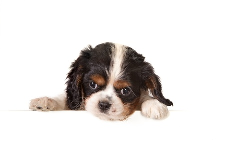 White isolated 6 weeks old king charles puppy dog Stock Photo - 9019731