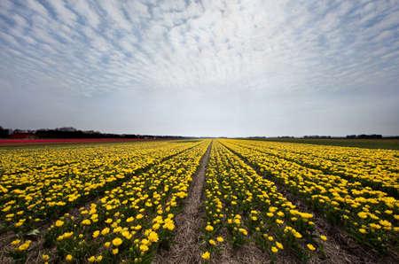 bloembollenvelden: Beroemde Nederlandse bollenvelden met miljoenen tulpen in Holland Stockfoto
