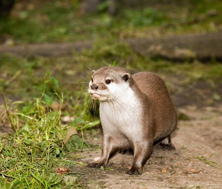 clawed: Asian short-clawed otter or Ambionyx Cinerea on alert Stock Photo