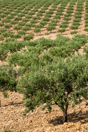 View on a large olive grove in Provence, France photo