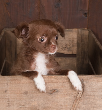 minuscule: Wooden crated with a brown chihuahua puppy of three weeks old