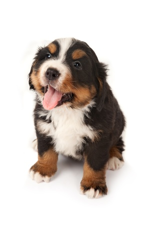purebreed: Six weeks old Bernese mountain dog puppy begging for attention