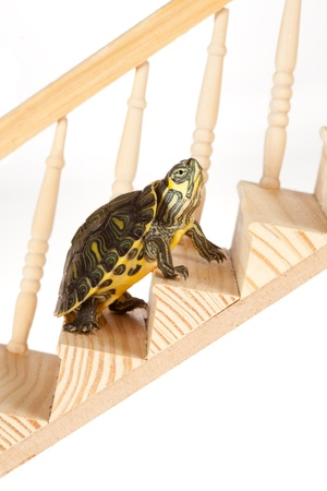 upward struggle: Ambitious turtle moving up with perseverence on a staircase or ladder