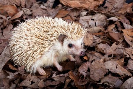 African pygmy hedgehog walking in dead leaves